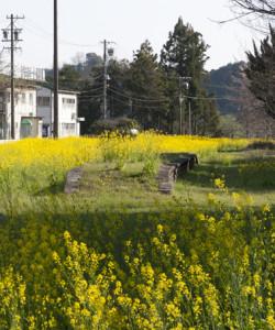 菜の花の北野畑駅