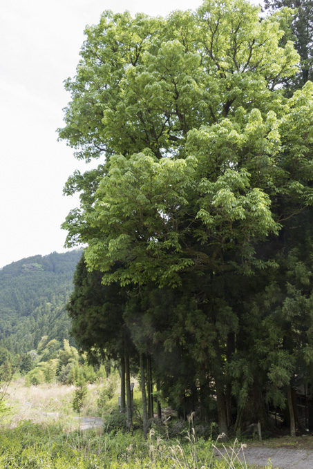 設楽町川向 神社のトチの木