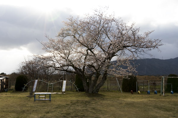 夕方の太郎桜