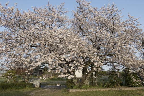 校門脇にある次郎桜