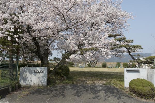 福原分校 次郎桜
