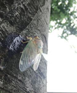 木に登るセミ